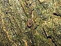 Platybunus pinetorum with mites 20090525 66.jpg