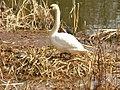 Ploetzensee - Schwanennest (Swans' Nest) - geo.hlipp.de - 35011.jpg