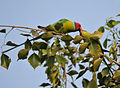 Plum-headed Parakeet (Psittacula cyanocephala) in Hyderabad W IMG 4531.jpg