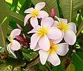 Plumeria (Frangipani).jpg