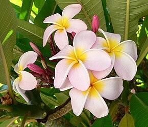 Nos amies les fleurs (Symbolisme) - Page 11 290px-Plumeria_%28Frangipani%29