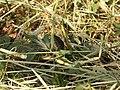 Podarcis sicula (18032705493).jpg
