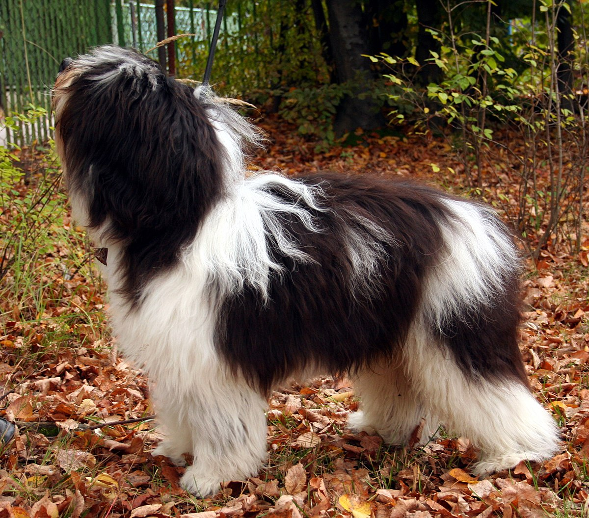 Polish Lowland Sheepdog - Wikipedia