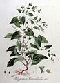 Polygonum convolvulus — Flora Batava — Volume v8.jpg