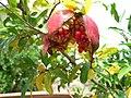 Pomegranate Narikala.jpg