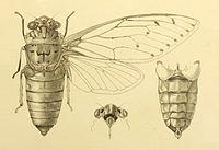 Pomponia imperatoria 2.jpg
