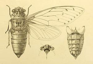 Empress cicada - Image: Pomponia imperatoria 2