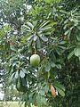 Pong pong tree 3.jpg