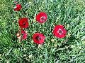Poppy Bahar 3.jpg