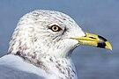 Portrait of ring-billed gull (Larus delawarensis), Windsor, Ontario, 2014-12-07.jpg