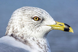 Ring-billed gull - Species is named for the dark ring around its bill