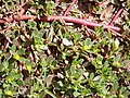 Portulaca oleracea stems.jpg