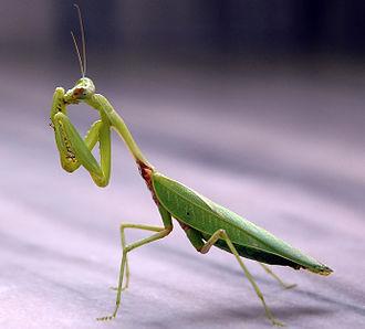 Mantis - Image: Praying mantis india