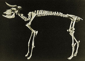 Muskox - Euceratherium skeleton.