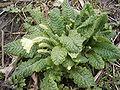 Primula-vulgaris-plant2.jpg