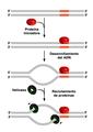 Proteína iniciadora.png