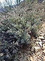Protea sulphurea nicky iNat20174151a.jpg