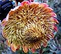 Protea sulphurea outramps-tanniedi iNat20173472a.jpg