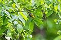 Prothonotary warbler (26179623223).jpg