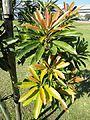 Protorhus longifolia, Durban.jpg