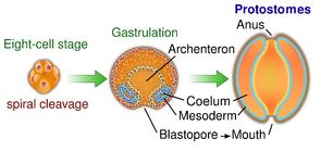 Bei den Urmündern wird der Urmund (Blastoporus) zum Mund, der Anus wird neu gebildet.