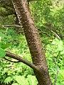 Prunus emarginata 15422.JPG
