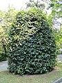 Prunus lusitanica - Villa Taranto (Verbania) - DSC03848.JPG
