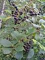 Prunus virginiana, cerises de virginie, chokecherries (4838133461).jpg
