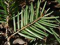 Pseudotsuga japonica togasawara03.jpg