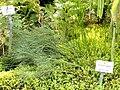 Psilotum nudum - Botanischer Garten München-Nymphenburg - DSC08186.JPG