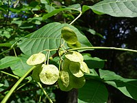 Ptelea trifoliata 20050808 006.jpg