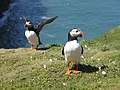 Puffins on the Wick - geograph.org.uk - 1328534.jpg