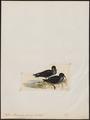 Puffinus brevicaudus - 1820-1860 - Print - Iconographia Zoologica - Special Collections University of Amsterdam - UBA01 IZ17900035.tif