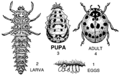 Pupa (PSF).png