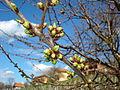 Pupanje trešnje.jpg