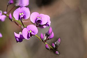 Mirbelioids - Mirbelia floribunda