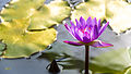 Purple Water Lily (13560704183).jpg