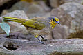 Pycnonotus finlaysoni 2 - Kaeng Krachan.jpg