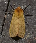 Pyrrharctia isabella - Isabella Tiger Moth (of the Woolly bear caterpillar) (14828975704).jpg