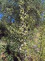 Pyrus bourgaeana joven.jpg