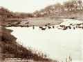 Queensland State Archives 2487 Marshs Dairy cattle on Brisbane River c 1898.png