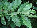 Quercus cerris foliage Bulgaria 2.jpg