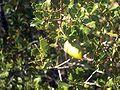 Quercus coccifera2p.jpg