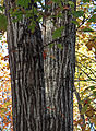 Quercus rubra N red oak bark.jpg