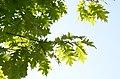 Quercus rubra leaves.jpg