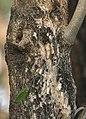 Quickstick (Gliricidia sepium) trunk in Kolkata W IMG 4440.jpg