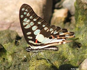Description de l'image RN017 Graphium doson.jpg.