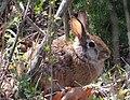 Rabbit (5550249529).jpg