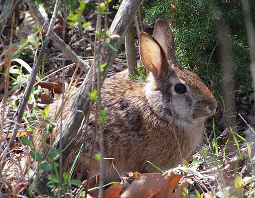 Rabbit (5550249529)