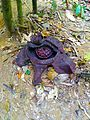 Rafflesia-faded.jpg